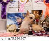 Чихуахуа рядом с кубками и дипломами (2013 год). Редакционное фото, фотограф Андрей Павлов / Фотобанк Лори