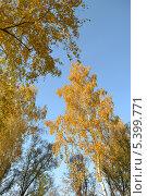 Осенние березы на фоне голубого неба. Стоковое фото, фотограф Людмила Сергиенко / Фотобанк Лори
