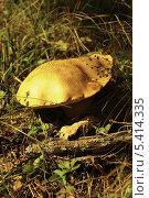 Гриб в осенней траве. Стоковое фото, фотограф Ольга Старшова / Фотобанк Лори