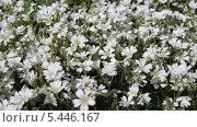 Ковер из белых цветов. Стоковое фото, фотограф Александр Сосюра / Фотобанк Лори