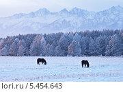 Купить «Две лошади пасутся зимним вечером в предгорье Восточных Саян», фото № 5454643, снято 4 января 2014 г. (c) Виктория Катьянова / Фотобанк Лори