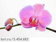 Купить «Розовая орхидея», эксклюзивное фото № 5454683, снято 6 января 2014 г. (c) Александр Щепин / Фотобанк Лори