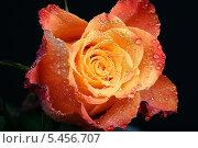 Купить «Яркая оранжевая роза крупным планом», фото № 5456707, снято 11 января 2008 г. (c) Иван Михайлов / Фотобанк Лори