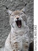 Купить «Малая рысь», эксклюзивное фото № 5465043, снято 31 декабря 2013 г. (c) Дмитрий Неумоин / Фотобанк Лори