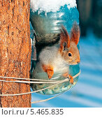 Купить «Белка в самодельной кормушке, сделанной из пластиковой бутылки», эксклюзивное фото № 5465835, снято 22 января 2013 г. (c) Евгений Мухортов / Фотобанк Лори