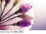 Цветы во льду. Стоковое фото, фотограф Светлана Мамонтова / Фотобанк Лори