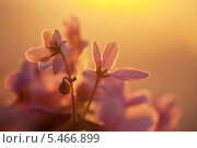 Купить «Цветок фиалки в солнечных лучах», фото № 5466899, снято 19 ноября 2013 г. (c) Светлана Мамонтова / Фотобанк Лори