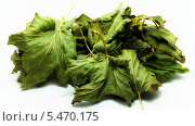 Купить «Сушеные листья смородины», фото № 5470175, снято 19 августа 2018 г. (c) Иван Федоренко / Фотобанк Лори