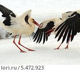 Купить «Аисты в естественной среде обитания», фото № 5472923, снято 28 марта 2013 г. (c) Эдуард Кислинский / Фотобанк Лори