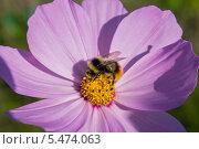 Шмель на цветке. Стоковое фото, фотограф Дмитрий / Фотобанк Лори