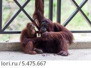Орангутаны. Мама и детеныш в реабилитационном центре Семенгох в на Борнео. Стоковое фото, фотограф Гуляева Юлия / Фотобанк Лори