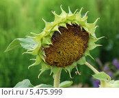 Купить «Подсолнечник (Helianthus annuus L.)», эксклюзивное фото № 5475999, снято 20 августа 2011 г. (c) lana1501 / Фотобанк Лори