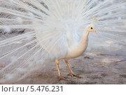 Купить «Белый павлин», фото № 5476231, снято 17 декабря 2009 г. (c) Владимир Сурков / Фотобанк Лори