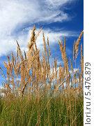 Купить «Колосья на фоне неба и облаков», фото № 5476879, снято 18 августа 2012 г. (c) Анна Павлова / Фотобанк Лори