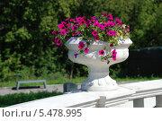 Купить «Красивый белый вазон с малиновой петуньей (лат. Petunia) в парке в солнечный летний день», эксклюзивное фото № 5478995, снято 23 августа 2011 г. (c) lana1501 / Фотобанк Лори