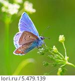 Купить «Бабочка - Голубянка Аманда (Polyommatus amandus)», эксклюзивное фото № 5479139, снято 28 июля 2013 г. (c) Евгений Мухортов / Фотобанк Лори