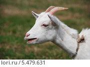 Купить «Домашняя коза крупным планом в профиль (лат. Capra aegagrus hircus)», эксклюзивное фото № 5479631, снято 20 августа 2011 г. (c) lana1501 / Фотобанк Лори