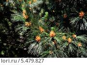 Купить «Сосна румелийская (лат. Pinus peuce). Хвоя и почки крупным планом», фото № 5479827, снято 9 июня 2013 г. (c) Сергей Трофименко / Фотобанк Лори