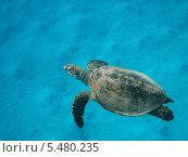 Морская Черепаха бисса плывет в воде. Стоковое фото, фотограф Владимир Киликовский / Фотобанк Лори