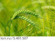 Купить «Зеленые колосья ячменя», фото № 5491507, снято 7 июля 2012 г. (c) Икан Леонид / Фотобанк Лори