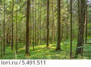 Дремучий лес. Стоковое фото, фотограф Икан Леонид / Фотобанк Лори