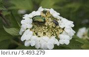Жуки на цветах калины. Стоковое фото, фотограф Александр Сосюра / Фотобанк Лори