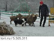 Пастьба овец (2014 год). Редакционное фото, фотограф Elena Baranovskaya / Фотобанк Лори