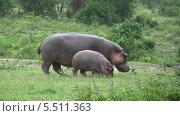 Купить «Самка гиппопотама с маленьким детенышем. Национальный парк Серенгети, Танзания, Африка», видеоролик № 5511363, снято 11 января 2014 г. (c) Кекяляйнен Андрей / Фотобанк Лори