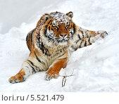 Купить «Тигр лежит на снегу», фото № 5521479, снято 22 января 2014 г. (c) Эдуард Кислинский / Фотобанк Лори