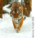 Купить «Тигр шагает по снегу», фото № 5521503, снято 8 января 2013 г. (c) Эдуард Кислинский / Фотобанк Лори