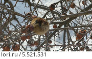Купить «Воробей на ветке яблони», видеоролик № 5521531, снято 26 января 2014 г. (c) Алексей Кокорин / Фотобанк Лори