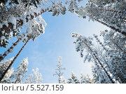 Купить «Вид снизу на заснеженные деревья на фоне голубого неба», фото № 5527159, снято 18 января 2014 г. (c) Игорь Соколов / Фотобанк Лори
