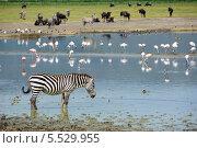 Купить «Зебра на водопое. Озеро в кратере Нгоронгоро. Танзания», фото № 5529955, снято 25 января 2008 г. (c) Знаменский Олег / Фотобанк Лори