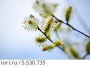 Купить «Цветущая Верба», фото № 5530735, снято 27 апреля 2013 г. (c) Татьяна Кахилл / Фотобанк Лори