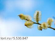 Верба на фоне голубого неба. Стоковое фото, фотограф Татьяна Кахилл / Фотобанк Лори