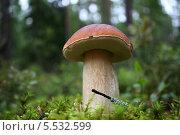 Король грибов. Стоковое фото, фотограф Нина Лопатина / Фотобанк Лори