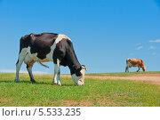 Коровы на пастбище. Стоковое фото, фотограф Opra / Фотобанк Лори