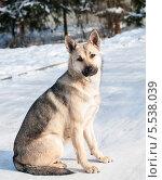 Купить «Собака сидит на снегу», эксклюзивное фото № 5538039, снято 26 января 2014 г. (c) Игорь Низов / Фотобанк Лори