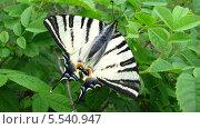 Бабочка-парусник Подалирий. Стоковое фото, фотограф Шадевский Дмитрий / Фотобанк Лори