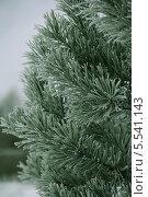 Зеленые ветки сосны в инее. Стоковое фото, фотограф Алексеева Оксана / Фотобанк Лори
