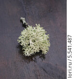 Купить «Пармелия лишайник на мокром столе», фото № 5541487, снято 4 января 2013 г. (c) Борис Сунцов / Фотобанк Лори