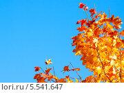 Купить «Клен в осенний солнечный день на фоне синего неба», фото № 5541647, снято 24 сентября 2012 г. (c) Сергей Дубров / Фотобанк Лори