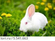 Белый кролик на поле одуванчиков. Стоковое фото, фотограф Семен Трофимов / Фотобанк Лори