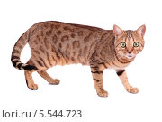 Рыжий кот породы Бенгал, изолировано на белом фоне. Стоковое фото, фотограф Игорь Долгов / Фотобанк Лори