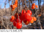 Купить «Подмороженные кисти ягод калины», фото № 5545379, снято 19 августа 2018 г. (c) Иван Федоренко / Фотобанк Лори