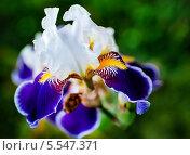 Купить «Цветок ириса на клубме крупным планом», фото № 5547371, снято 3 июля 2012 г. (c) Типляшина Евгения / Фотобанк Лори