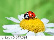 Купить «Божья коровка на цветке ромашки, крупный план», фото № 5547391, снято 7 июля 2012 г. (c) Типляшина Евгения / Фотобанк Лори