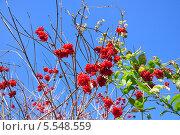 Красная ягода калина на фоне голубого неба. Стоковое фото, фотограф ВЛАДИМИР КУШПИЛЬ / Фотобанк Лори