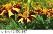 Бордово-желтые бархатцы крупным планом. Стоковое фото, фотограф Склярова Ирина / Фотобанк Лори