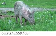 Свинья. Стоковое видео, видеограф Липунов Леван / Фотобанк Лори